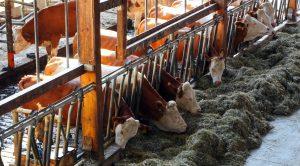 tepelvoering-gezond-melkveebedrijf
